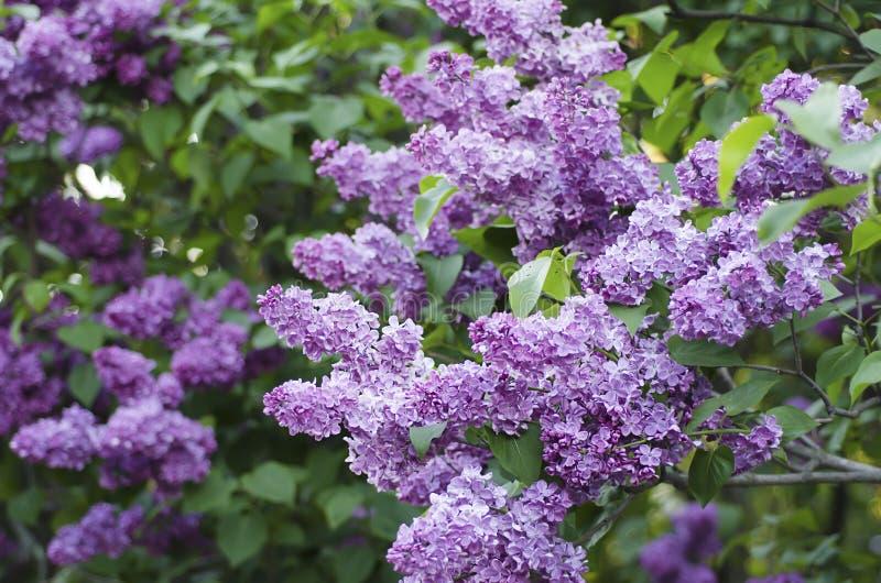 Download Wiosna bzu kwiaty obraz stock. Obraz złożonej z okwitnięcie - 53780913
