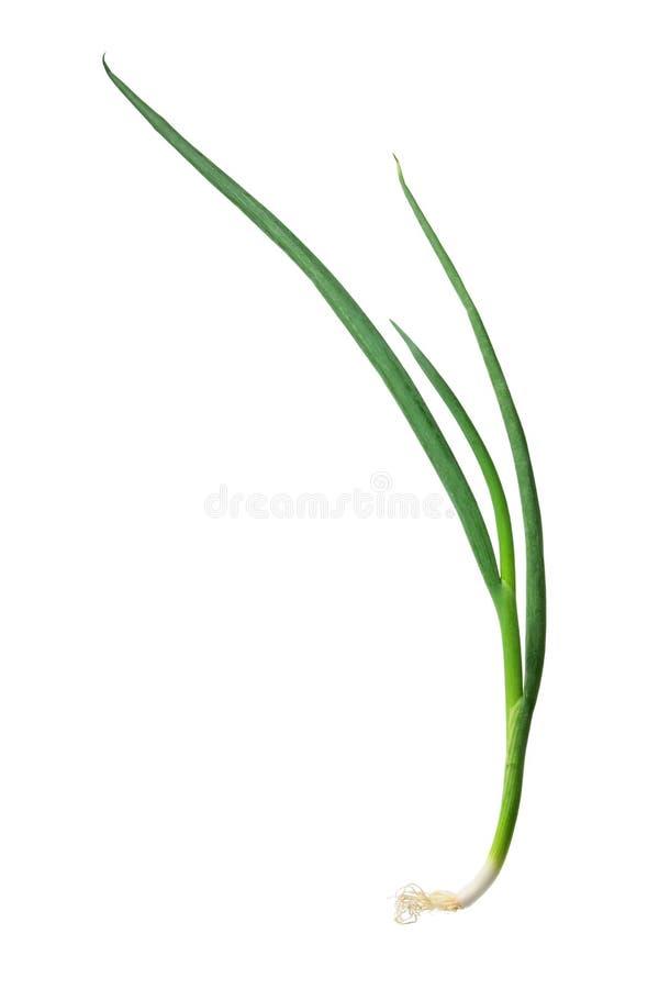 Wiosna Cebule zdjęcia stock