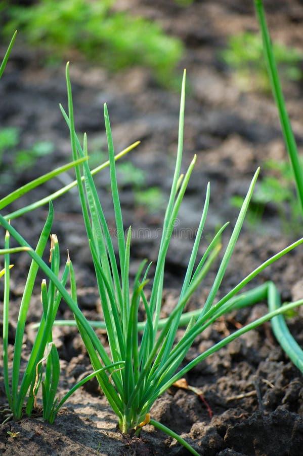 wiosna cebuli obrazy royalty free