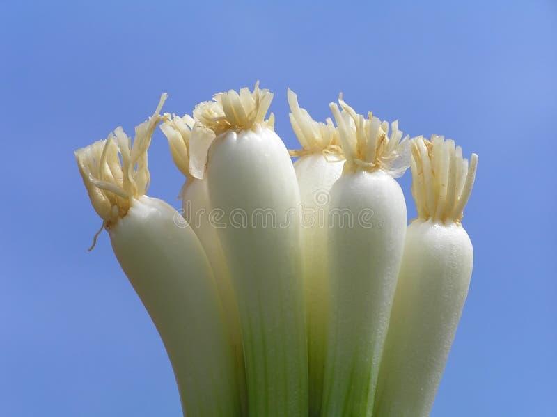 wiosna cebulowe obraz stock