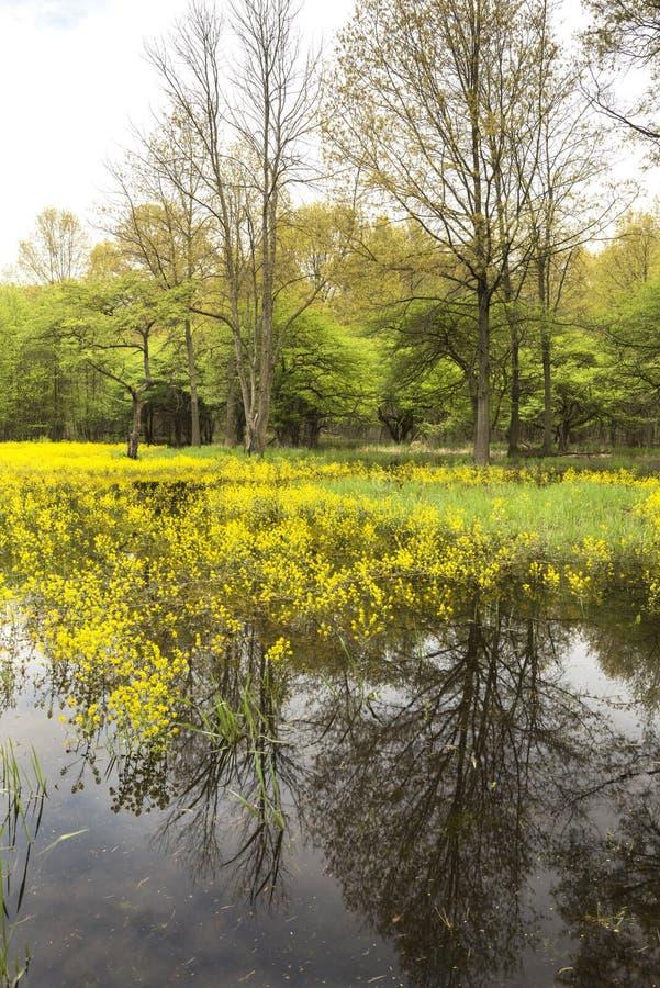 Wiosna czas w zalewaj?cym lesie obraz royalty free