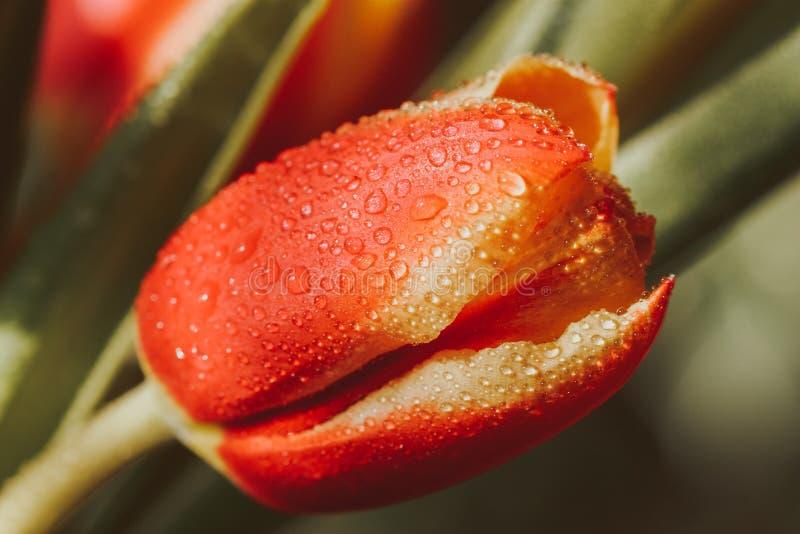 Wiosna, czerwony tulipan z rosa kroplami obraz stock