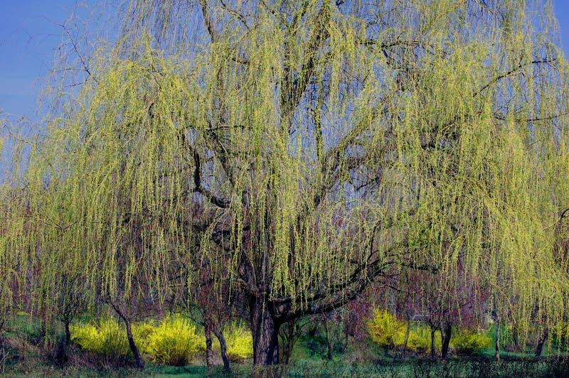 wiosna drzewo zdjęcie stock