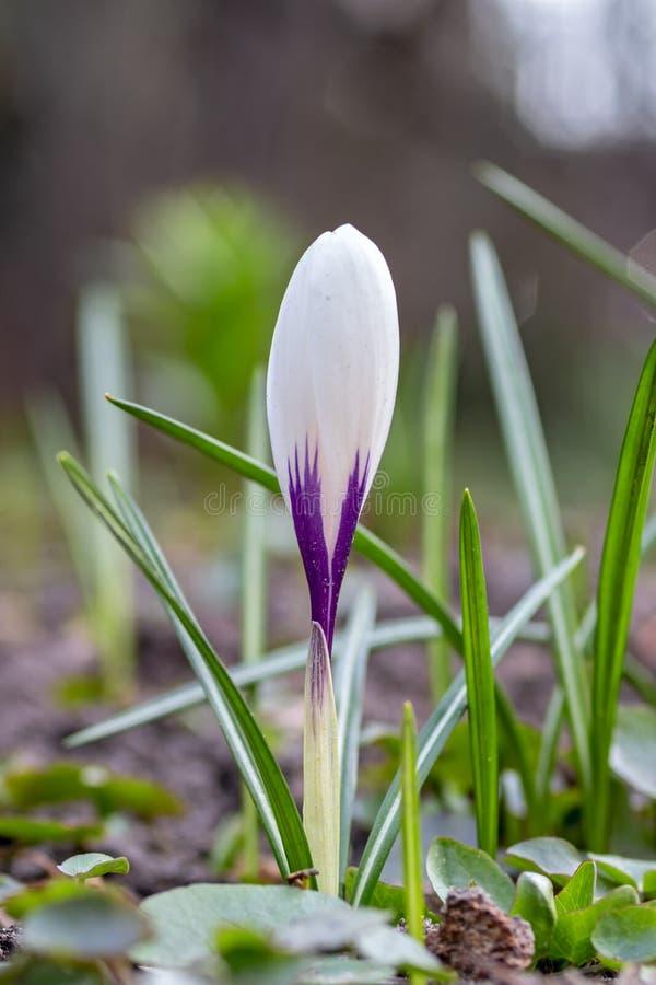 Wiosna dziki bez i biali kwiaty na łące zdjęcia royalty free