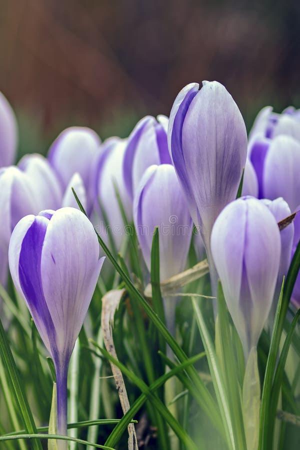 Wiosna dziki bez kwitnie na ??ce na pogodnym lekkim tle Marzycielski delikatny artystyczny wizerunek obraz royalty free