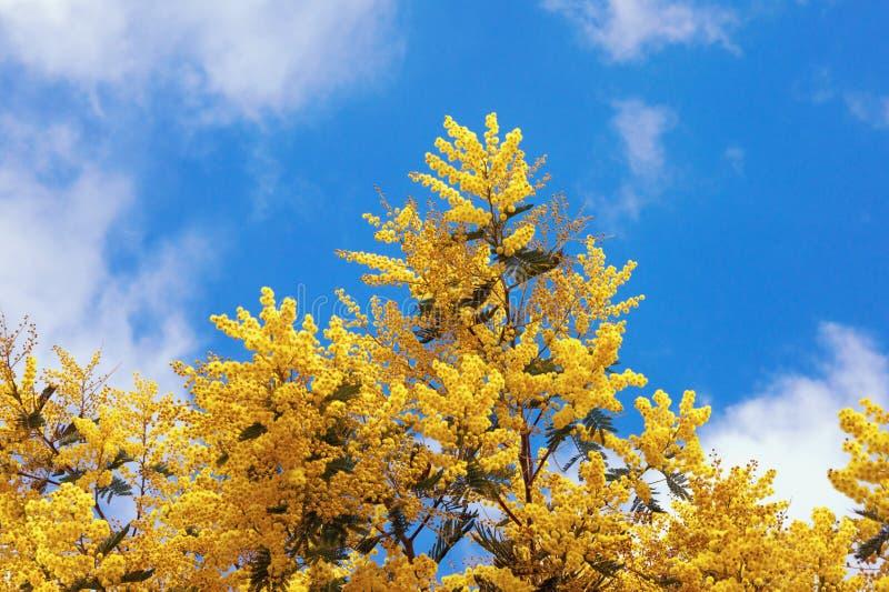 Wiosna Gałąź kwiatonośne Akacjowe dealbata mimozy znowu obrazy stock