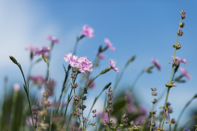 Wiosna goździki zdjęcie stock