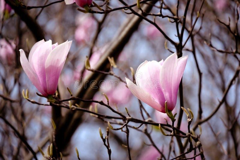 Wiosna goniec zdjęcia royalty free