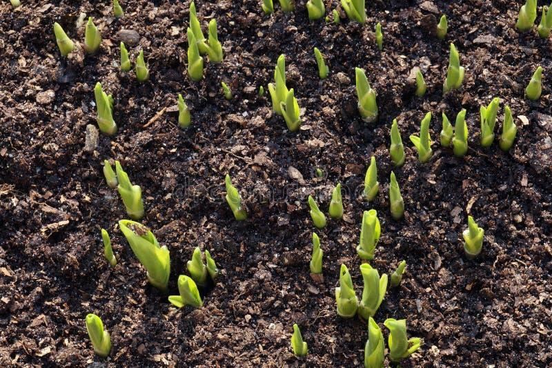 Wiosna Hosta jest genus ro?liny powszechnie zna? jako hostas, banan leluje w Brytania japo?czyka imieniem i sporadycznie fotografia stock