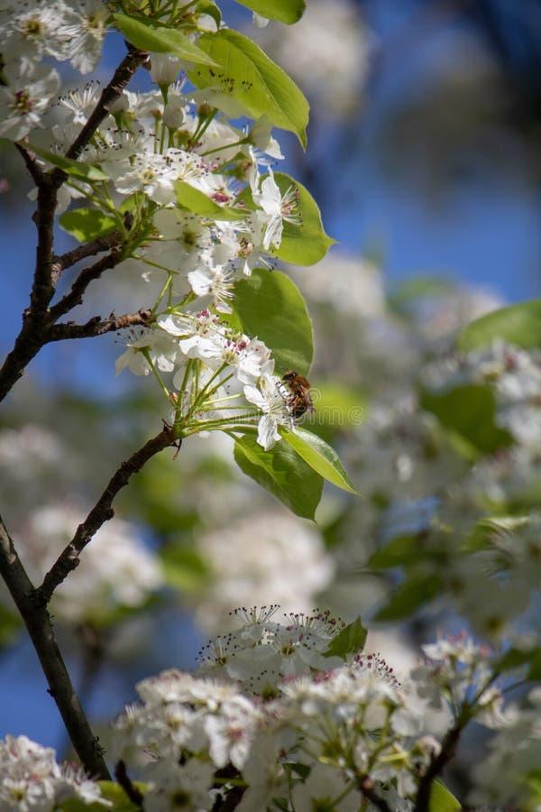 Wiosna i pszczoła zdjęcia royalty free