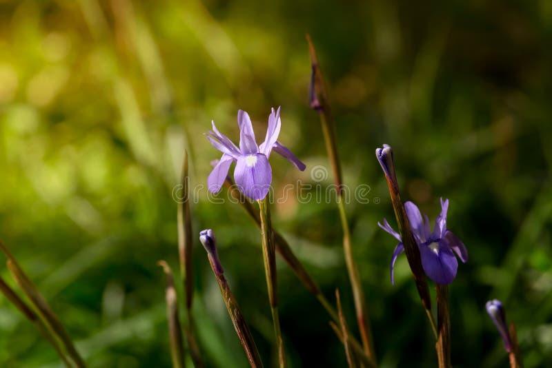 Wiosna irys r w łące obraz stock