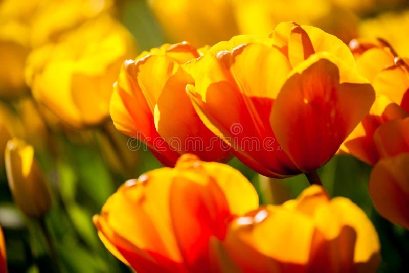 wiosna kolorowi tulipany obrazy royalty free