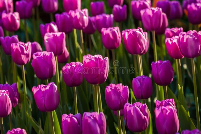 wiosna kolorowi tulipany obraz stock