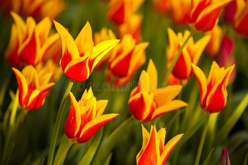 wiosna kolorowi tulipany obrazy stock