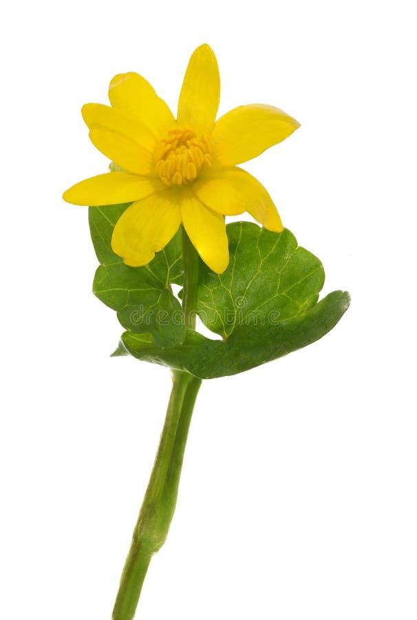 Wiosna koloru żółtego pojedynczy kwiat odizolowywający na bielu obrazy stock