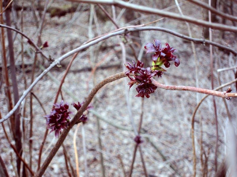 Wiosna krótkopędy z potomstwo liści fotografią obraz stock