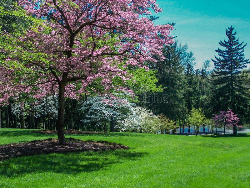 Wiosna krajobraz - Kwiatonośni Dereniowi drzewa zdjęcia stock