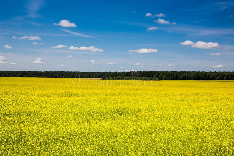 Wiosna krajobraz, las i koloru żółtego pole, obrazy stock