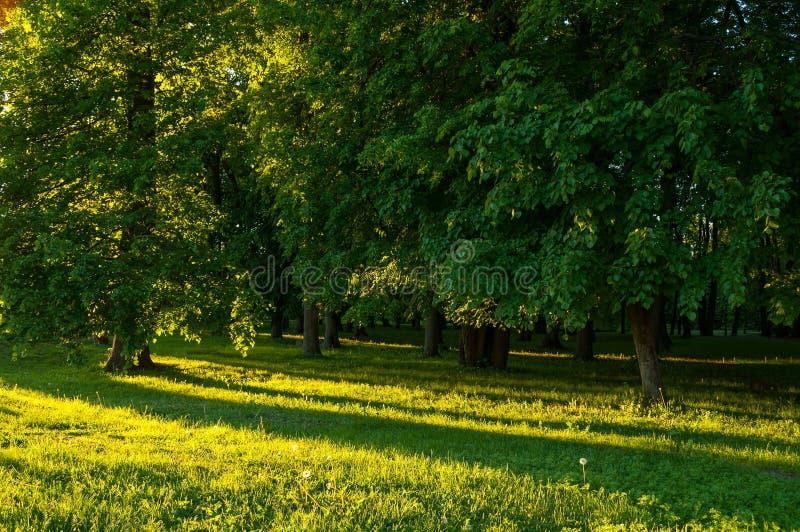 Wiosna krajobraz - parkowi drzewa z trawą na przedpolu i światła słonecznego jaśnieniem przez lasowych drzew obraz royalty free