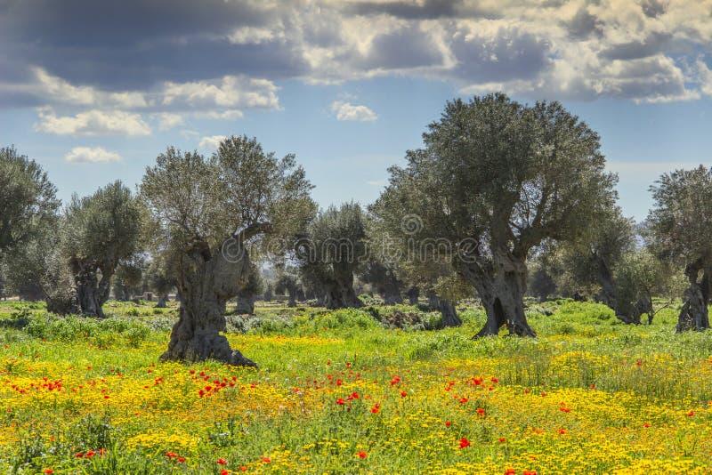 Wiosna krajobraz: rolnictwa pole z starym oliwnym gajem między łąką maczki i dzikimi kwiatami fotografia stock