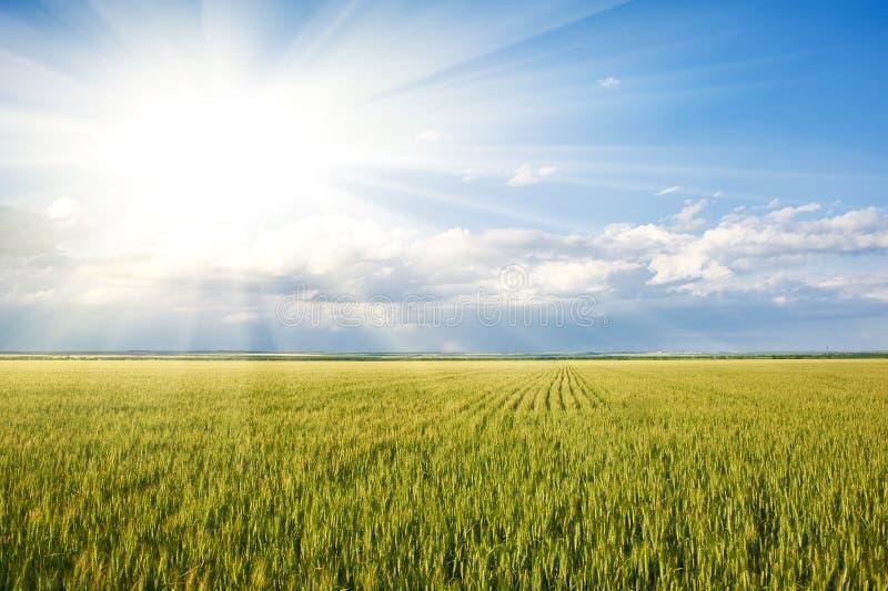 Wiosna krajobraz - słońce w zielonej trawy pszenicznym polu i niebieskim niebie zdjęcia royalty free