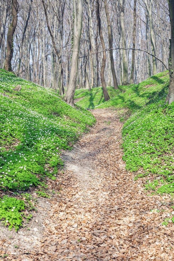 Wiosna krajobraz z lasowym footpath i bia?ym dzikich kwiat?w drewnianym anemonem fotografia stock