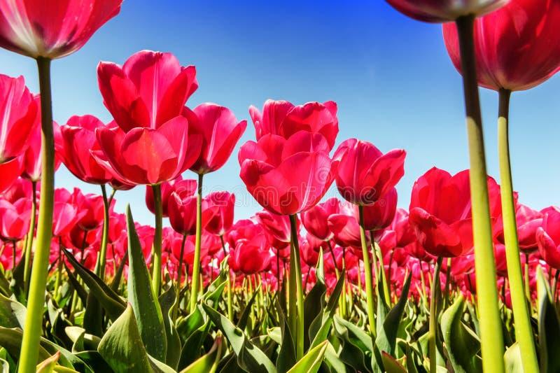 Wiosna krajobraz z pięknymi różowymi tulipanami zdjęcie stock