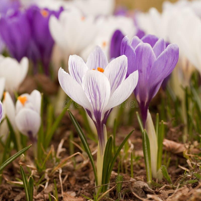 Wiosna krokus fotografia stock