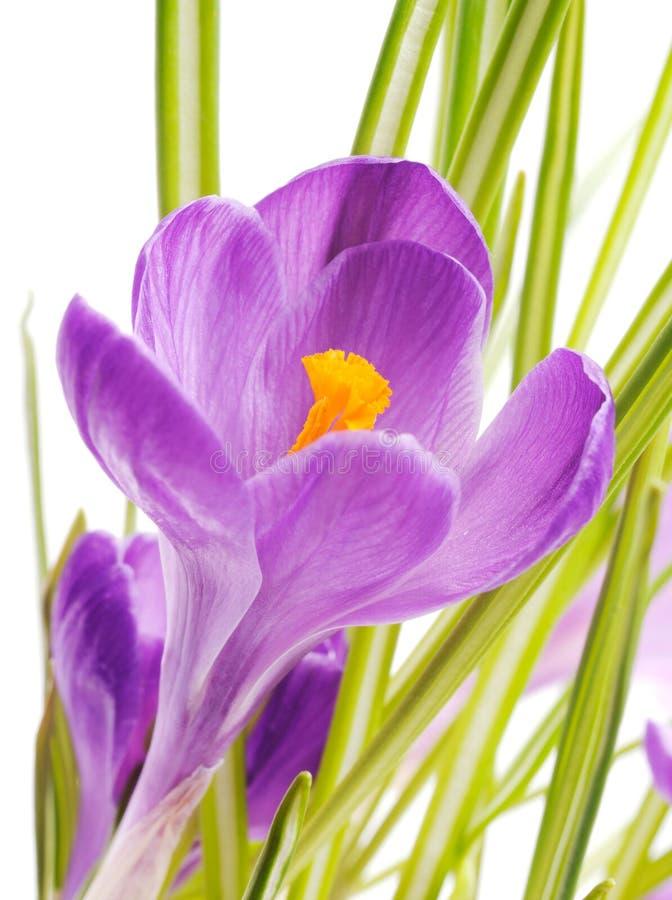 Wiosna krokus zdjęcia stock