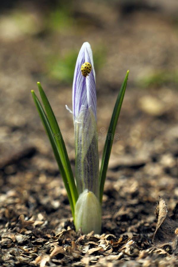 Wiosna krokus zdjęcia royalty free