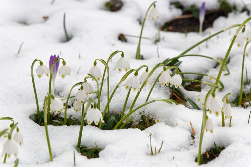 Wiosna krokus w śniegu i płatki śniegu obrazy royalty free