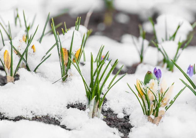 Wiosna krokusa kwiecenie od śniegu zdjęcia royalty free