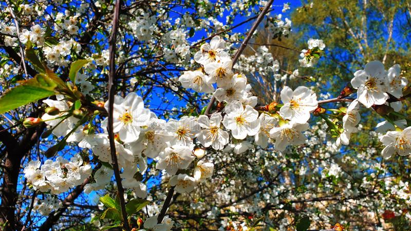 Wiosna kwiatów Czereśniowego okwitnięcia wiosny drzewny lato Kwitnie ale Kwiecisty Piękny Biały niebieskie niebo natury tło zdjęcie royalty free