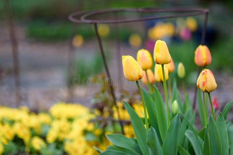 Wiosna kwiatów dorośnięcie w domu ogródzie, tulipany, metal rośliny poparcia i inne rośliny w tle, koloru żółtego i czerwieni, sp zdjęcia stock