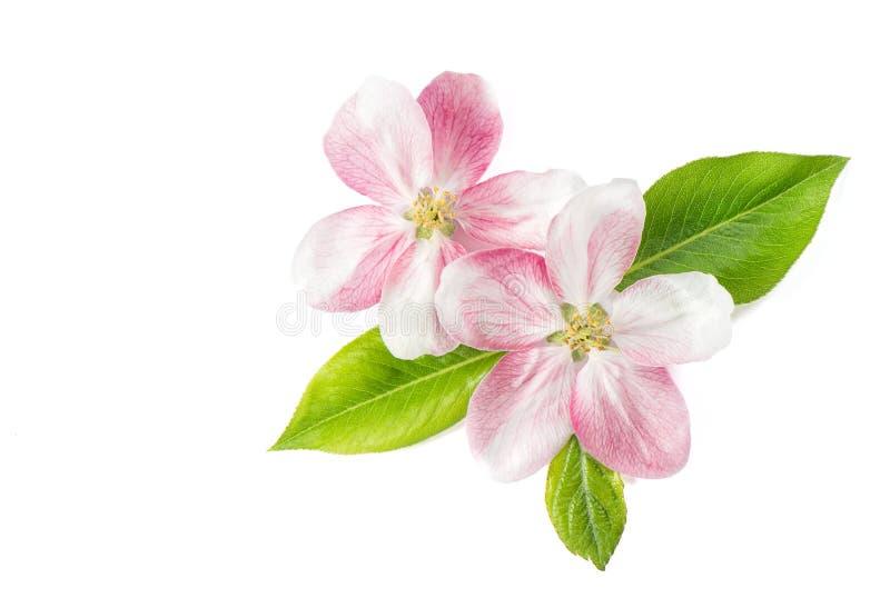Wiosna kwiatów okwitnięcia Jabłczana zieleń opuszcza białego tło fotografia royalty free
