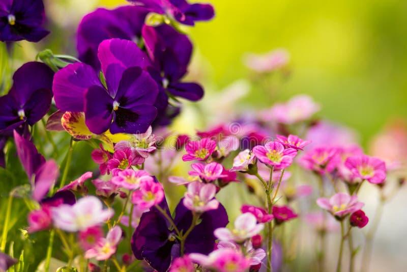 Download Wiosna kwiat obraz stock. Obraz złożonej z pansy, greenbacks - 53790077
