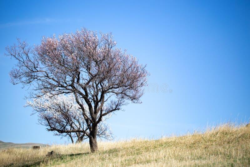 wiosna kwiat Gałąź kwiatonośna morela przeciw niebieskiemu niebu okwitni?cie biel t?o mleczy spring pe?ne meadow ? zdjęcie royalty free