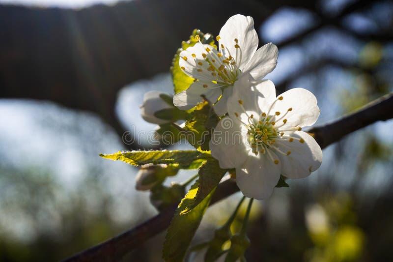 wiosna kwiat Kwitnąć gałąź zakończenie w górę zdjęcia royalty free