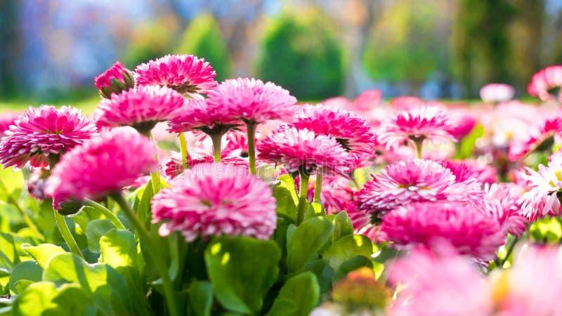 wiosna kwiat Marguerite, ogrodowa stokrotka, bellis perennis zdjęcie royalty free
