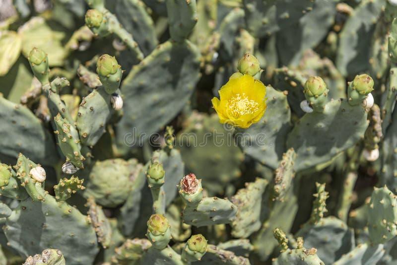 Wiosna kwiat na kłującej bonkrety kaktusie zdjęcie stock