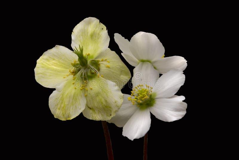 Wiosna kwiat odizolowywający biały helleborus zdjęcia royalty free