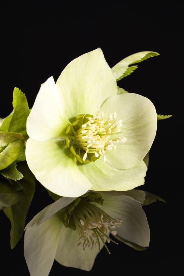 Wiosna kwiat odizolowywający na czarnym tle biały helleborus zdjęcie stock