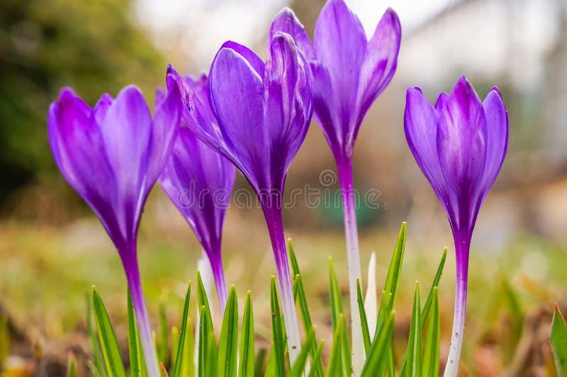 Wiosna kwiat piękni kwiatów krokusy zdjęcia stock