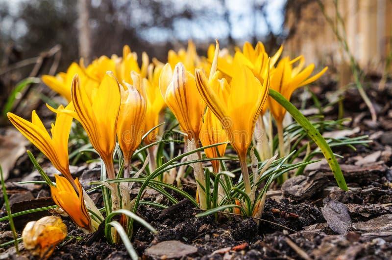 Wiosna kwiat piękni kwiatów krokusy zdjęcie stock