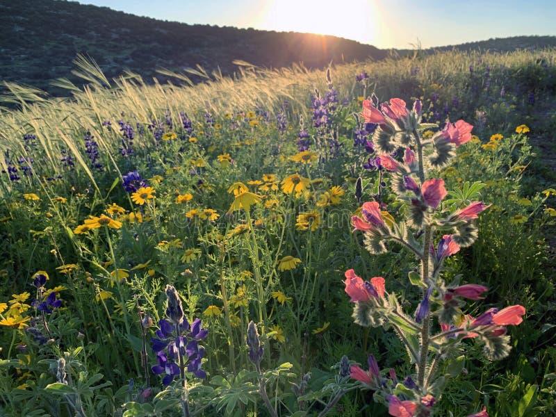 Wiosna kwiat w wzgórzach Judea zdjęcia stock