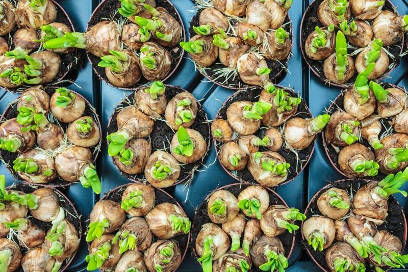 Wiosna kwiatu żarówki w skrzynce na rynku obraz stock