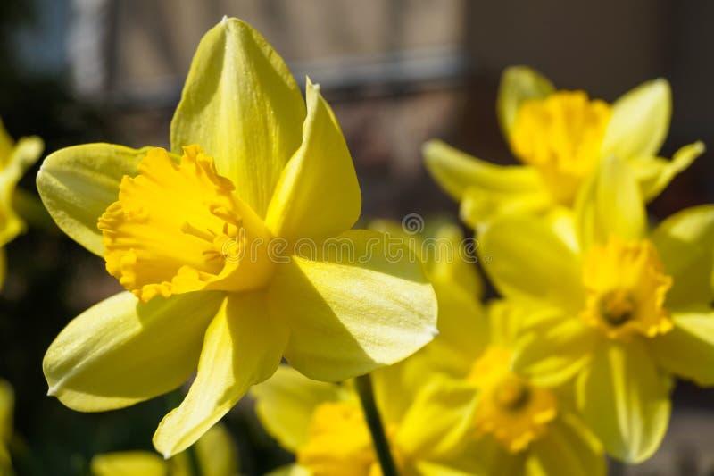 Wiosna kwiatu daffodil żółty narcyz obraz royalty free