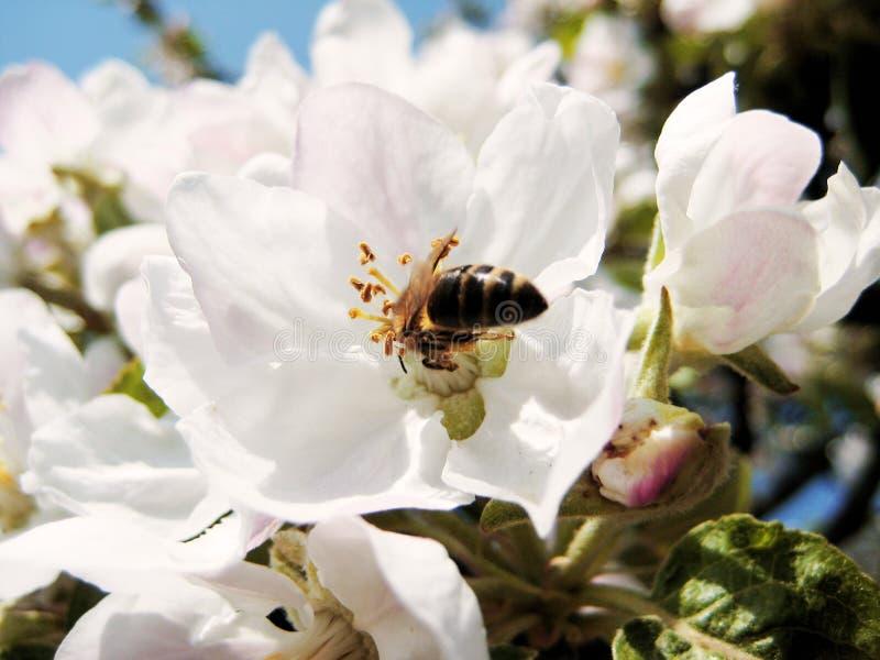Wiosna kwiatu okwitnięcia pszczoły Ð ¿ Ñ ‡ ÐΜÐ drzewny' а бРР² Ñ † Ð ² ÐΜÑ 'кÐΜ Ñ ' Ð ¾ Ð ½ и zdjęcie royalty free