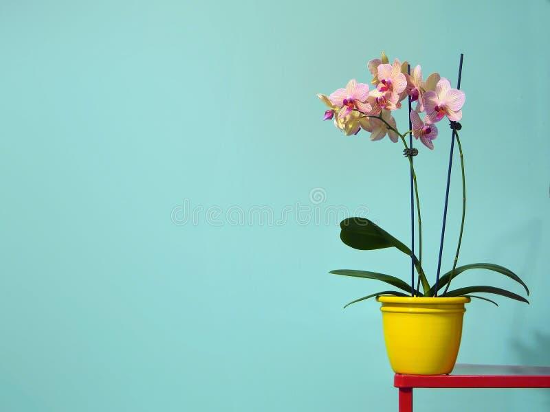 Wiosna kwiatu orchidee jaskrawe i minimalne z pastelowym tłem fotografia stock