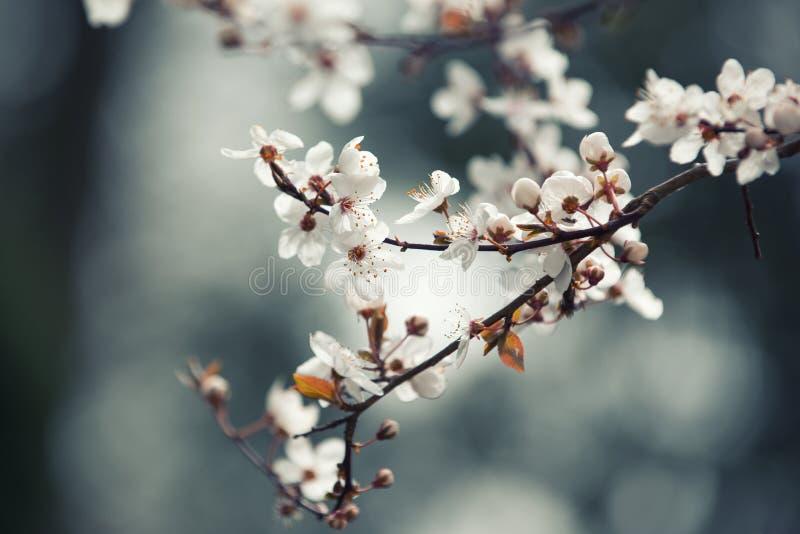 Wiosna kwiatu tło, gałąź kwitnąć czereśniowego drzewa obrazy royalty free